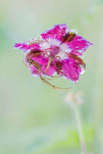 Spinne Blume Makro Wirbellose Flower Flowering Plant Plant Vulnerability  Fragility Beauty In Nature Freshness Close-up Purple Focus On Foreground Petal Flower Head Inflorescence Nature Growth No People Pink Color Selective Focus Day Outdoors Wilted Plant Sepal
