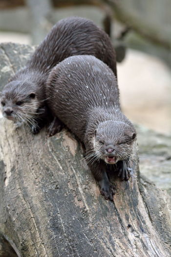 Animal Animals D7100 Fischotter Mammal Mammals Nikon Nikon D7100 No People Otter Otters Tier Tiere Zoo Berlin Sigma 150-600c