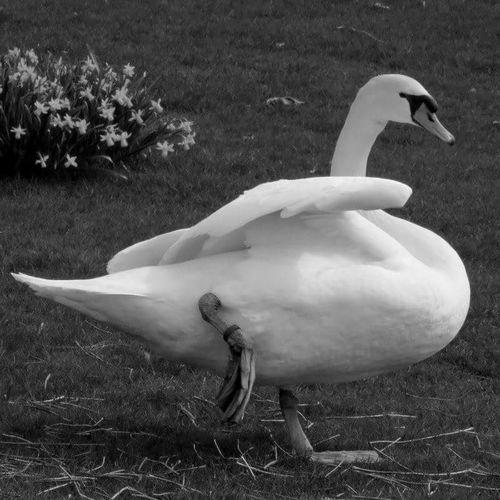Gymnastics Dancer Love FeelsGood Here Belongs To Me Happiness EyeEm Gallery EyeEm Best Shots Bird Photography Swan Swantastic Swan Series Bigbird Swan Lake