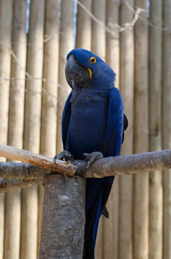 Animal Themes Animal Wildlife Animals In The Wild Beak Beauty In Nature Bird Blue Close-up Day Focus On Foreground Gold And Blue Macaw Macaw Nature No People One Animal Outdoors Parrot Perching Wooden Post