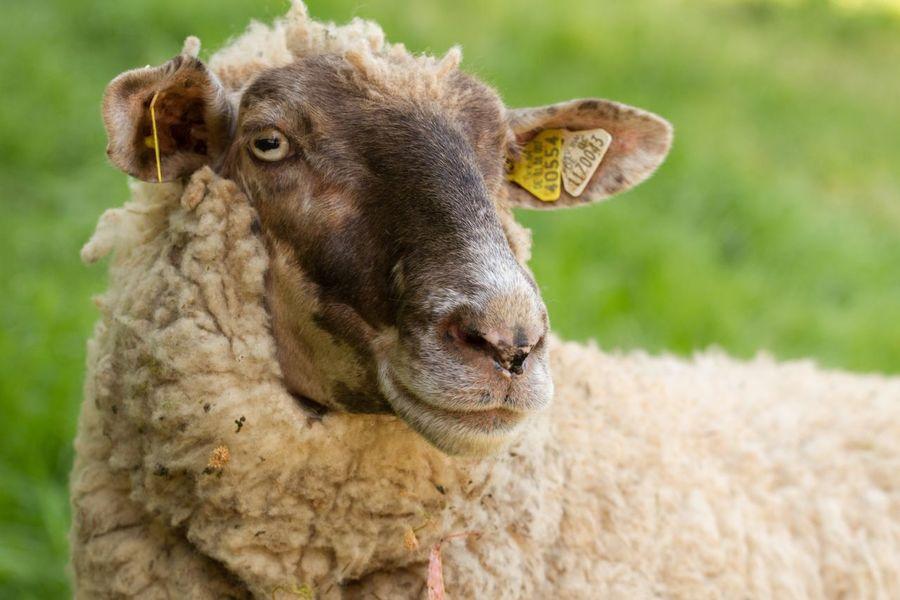 EyeEm Selects Nature Portrait Germany Animal Mammal Herbivorous No People Sheep Close-up
