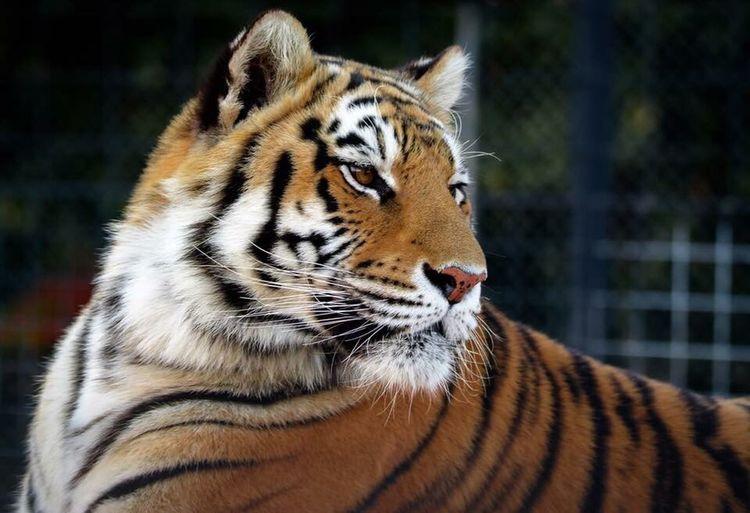 Tiger. Tiger