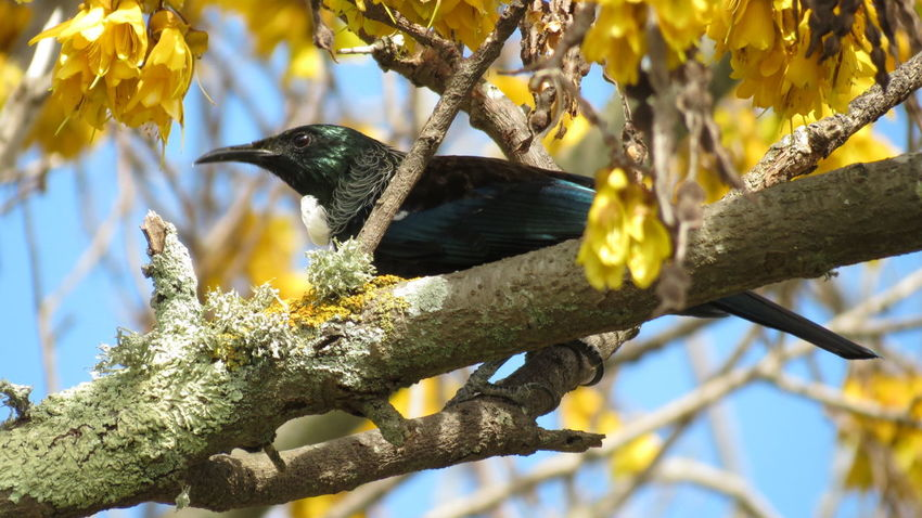 Bird One Animal Animal Themes Animals In The Wild Tree Branch Animal Wildlife Nature Beauty In Nature Outdoors No People Perching Day Close-up New Zealand Kowhai Tui Nz Native Bird Native Trees