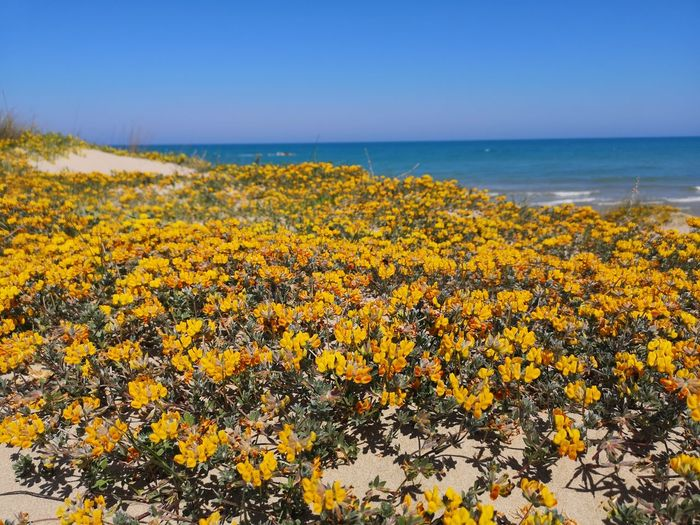 Flower Flower Head Water Sea Horizon Clear Sky Sand Dune Blue Sunset Yellow In Bloom Plant Life