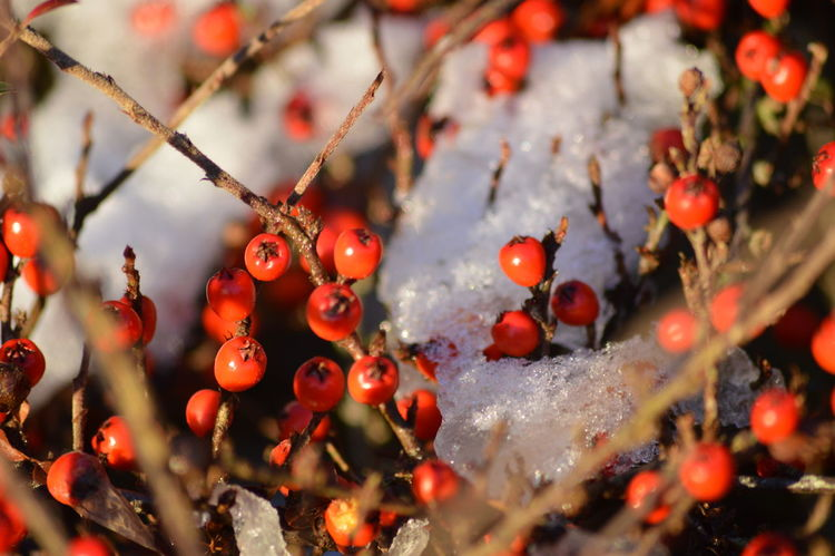 Beauty In Nature Red Berries Red Berries In Snow Cotoneaster Red Fruit Tree No People Close-up Outdoors Day Winter Nature Shades Of Winter