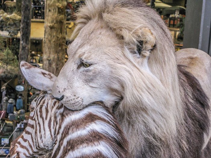 Close-up of lion biting zebra
