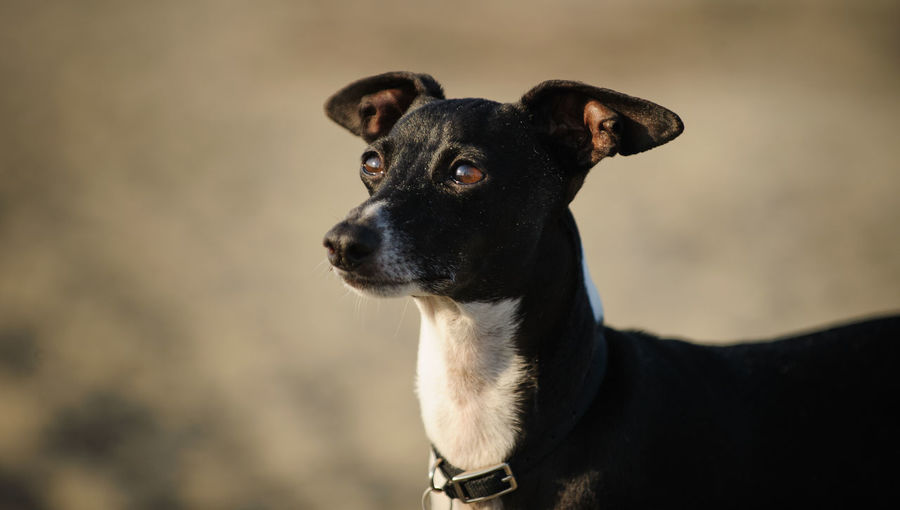 Close-up of black dog standing at beach