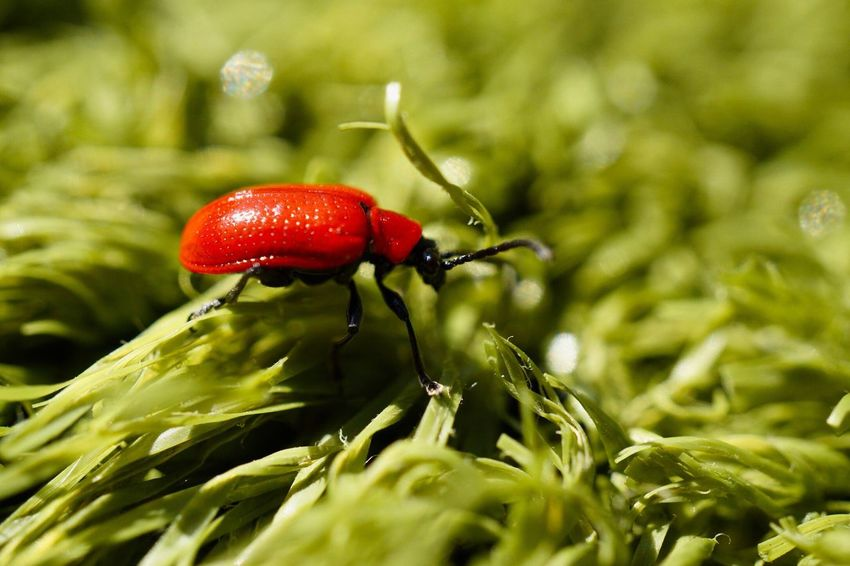 Bug hunt Scarlet Lily Beetle Red Lily Beetle Lily Leaf Beetle Insect Macro Close-up Outdoors Nature Wildlife Sony A6000 Sel30m35 Beauty In Nature Beetle