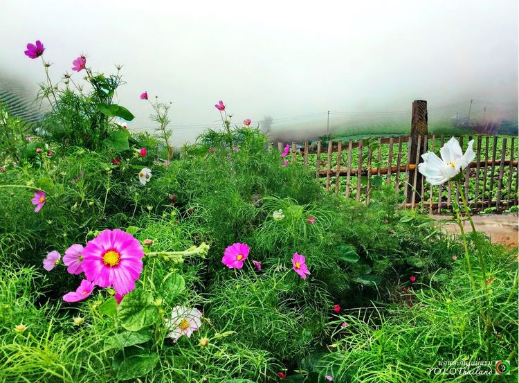 After raining. Beauty In Nature Day Field Flower Flower Head Flowerbed Flowering Plant Fragility Freshness Grass Green Color Growth Land Nature No People Outdoors Pink Color Plant Sky Springtime Tranquility Vulnerability