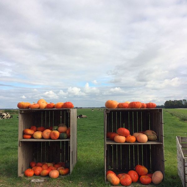 Pumpkins Outdoors Pumpkin Beauty In Nature Agriculture Pompoenen Netherlands Harvesting Thenetherlands Flevoland