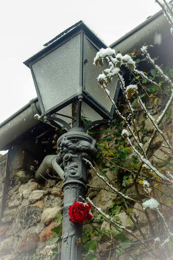 Freinsheim Frozen Lantern Laterne Lights Rheinland-Pfalz  Winter Wintertime Architecture Building Exterior Built Structure Close-up Day Germany Low Angle View Nature No People Outdoors Rose - Flower Roses Snow