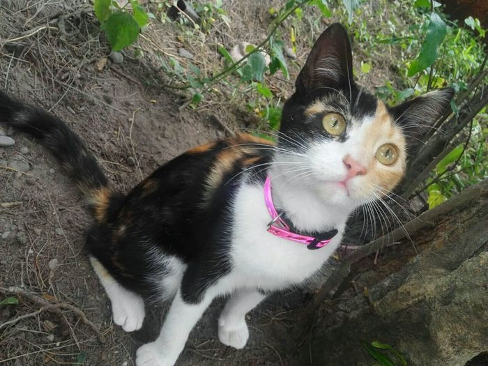 Mimi, Gatita Calico 1 Calico Calico Cat Calico Cats Are Special Pets Portrait Domestic Cat Feline Looking At Camera Cat Pet Collar Pet Bed Animal Tongue First Eyeem Photo