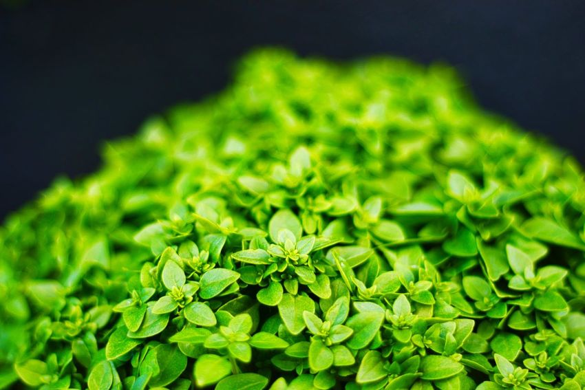 Basil Basil Green Color Close-up Food And Drink Freshness Food Plant Nature Growth