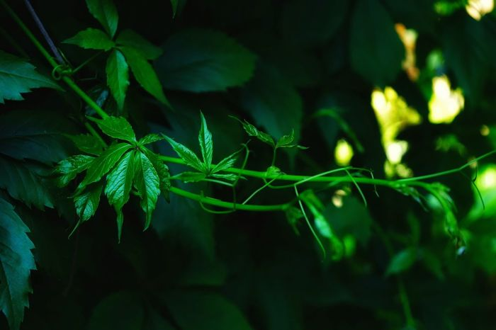 Green Color Leaf Plant No People Close-up Nature Outdoors Day Tree Macro EyeEmNewHere EyeEm Selects Green Color Garden Beauty In Nature Liana Light Summer Shadow