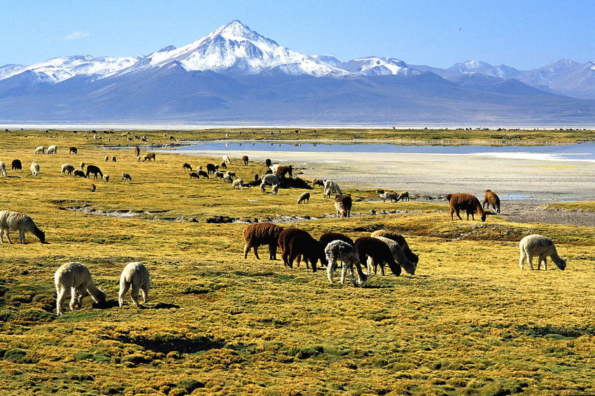 Animal Themes Beauty In Nature Day Domestic Animals Grazing Grazing Animals Grazing Lamas Lamas Landscape Large Group Of Animals Livestock Mammal Mountain Nature No People Outdoors Salar De Surire Salar De Surire Natural Monument Scenics Sky Surire