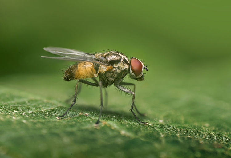 Anthomyiidae Anthomyiidae Fly Animal Themes Animals In The Wild Close-up Green Color Insect Macro Nature One Animal Selective Focus