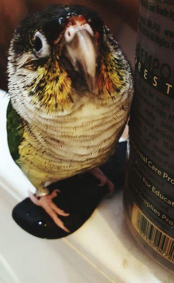 Bird Conure Green Cheek Atlas Pretty Cute