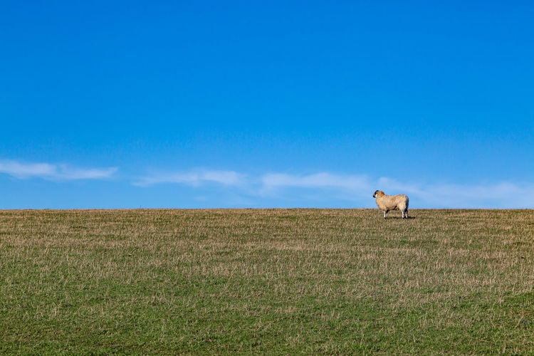 A sheep in the sussex countryside on a sunny winters day