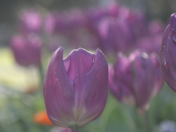 Close-up of raindrops on pink tulip