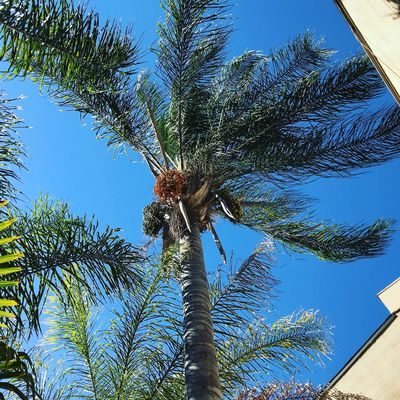 Queen Palm Trees Tree Low Angle View Plant Sky Growth Nature No People Outdoors Clear Sky Tree Trunk Branch Sunlight