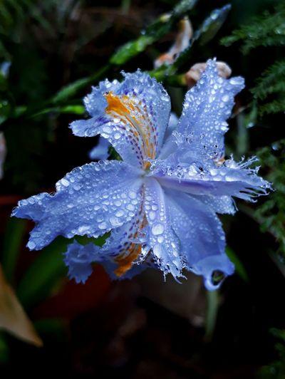 Lirio Flower