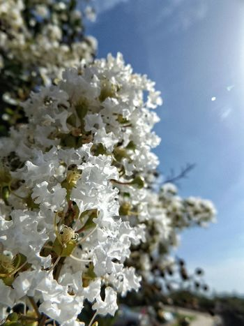 Crepe Myrtles White Delicate Beauty Dainty Flowers Beautiful Enjoying Life Taking Photos Hanging Out Close-up Outdoors Natchez Outside Flowers Vivid Colour Of Life Macro Color Palette Colour Of Life