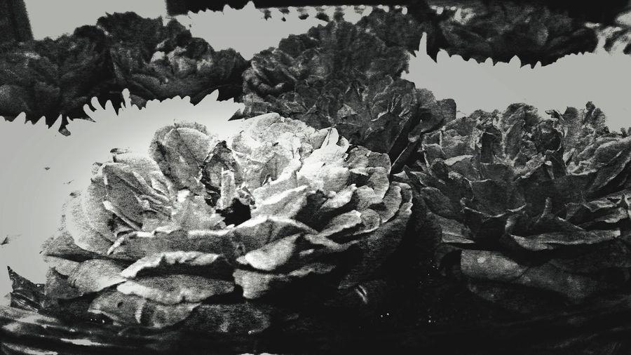Flower Bed Roses🌹 An B/w Look .... Fragnance :-)