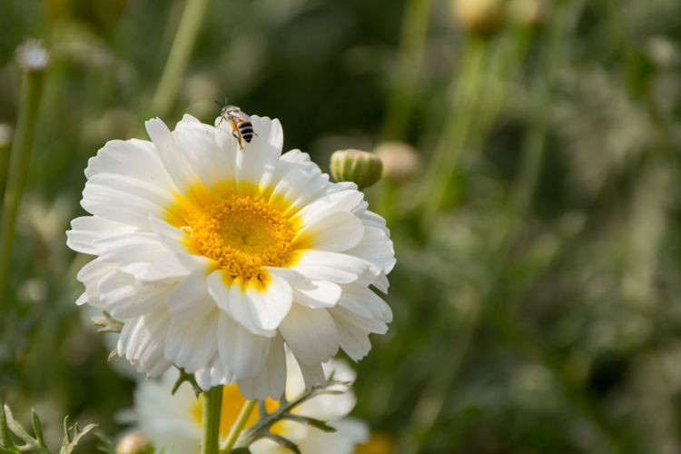 Wallpaper Desktop Wallpaper Flower Head Flower Petal Insect Springtime White Color Close-up Animal Themes Plant Stamen Hibiscus Single Flower Blooming Plant Life Pollination Bee In Bloom Lily Daisy Wildflower Pollen Pistil Passion Flower Cosmos Flower Honey Bee Osteospermum