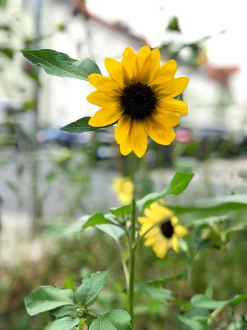 Sunflower in the city Germany Yellow Sunflower Urban City Flower Copy Space Nobody Flower Flowering Plant Yellow Freshness Flower Head Beauty In Nature Plant Growth Petal Close-up Focus On Foreground No People Outdoors