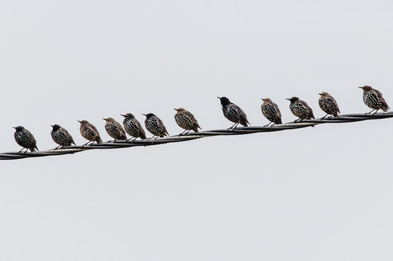 Starlings in a row Sturnus Vulgaris Animal Animals In The Wild Bird Birds Close-up Copy Space Group Of Animals In A Row Nature No People Order Side By Side Sky Starlings Vertebrate White Background White Color