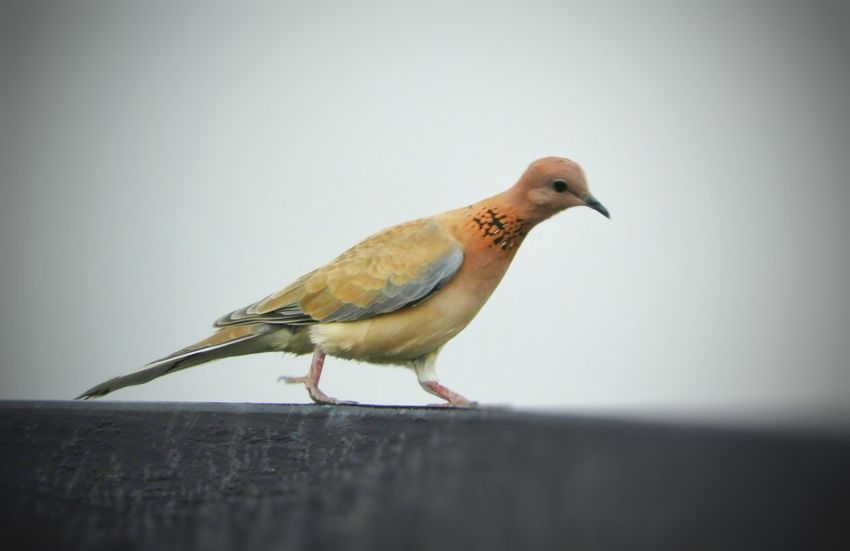 Eurasian Collared DoveOne Animal Bird Songbird  Perching Nature Dove Lone Bird Animal Wildlife Side View Animals In The Wild Agriculture Food Living Organism Close-up Portrait No People Animal Themes White Background Full Length Eating Beauty In Nature Outdoors
