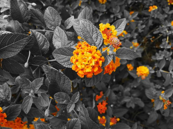 Flower Nature Fragility Beauty In Nature No People Day Outdoors Close-up Freshness Flower Head Vivid Orange Color