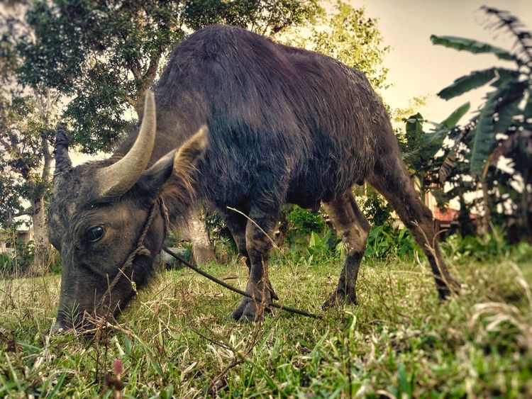 Philippine Carabao Farmers Bestfriend Plows Field Industrious Animal Eating Grass Hardworker Feeding Time IPhone Photography MightY Strong