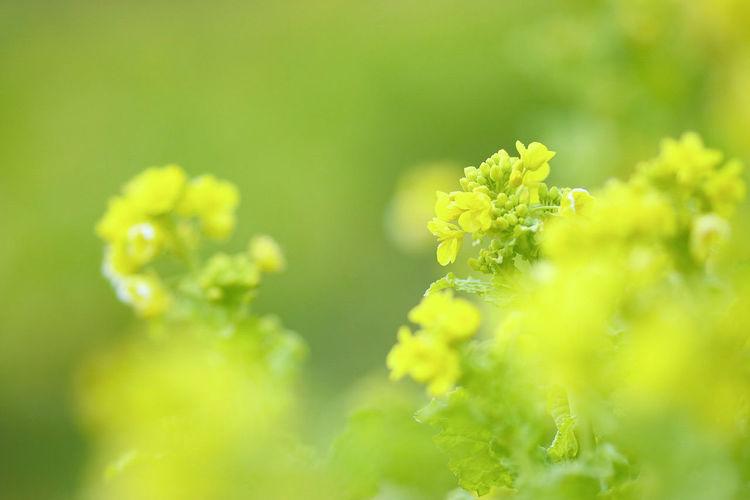 135mm 日本 Japan Natural お写ん歩 カメラ女子 お散歩 菜の花 Nature Plant Green Color Close-up Outdoors Leaf Summer Flower Yellow