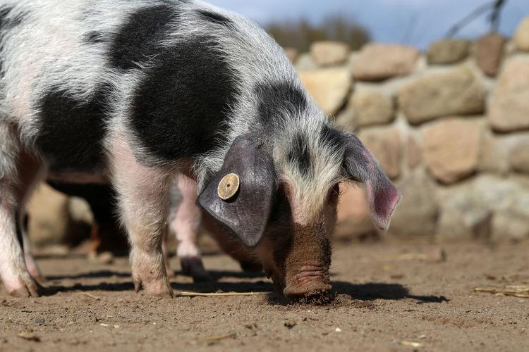 Close-up of pig on land