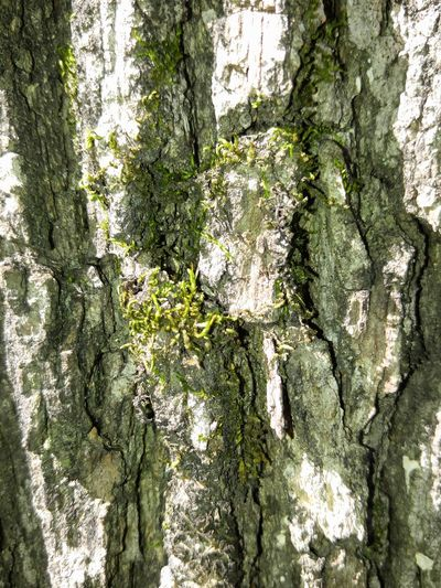 Maximum Closeness Growth Full Frame Tree No People Close-up Beauty In Nature Outdoors Green Color Textured  Day Nature Mossy Tree Mossy Oaks Oak