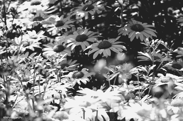 Nature On Your Doorstep Dasies Blackandwhite Flowerpatch Nature Pretty Apapphotography