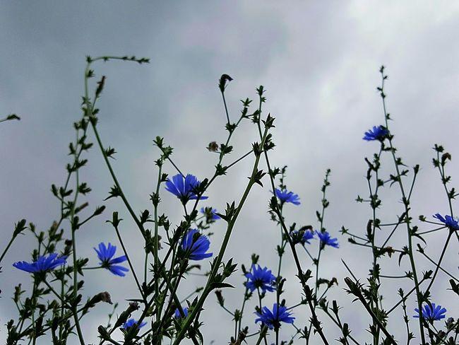 Nature Cornflower Corn-flower Bluebottles BlueBottle Field Of Flowers Beauty In Nature Beautiful Nature Blue Flowers Fine Art Photography Fine Art Small Flowers Flower Collection Wild Flowers