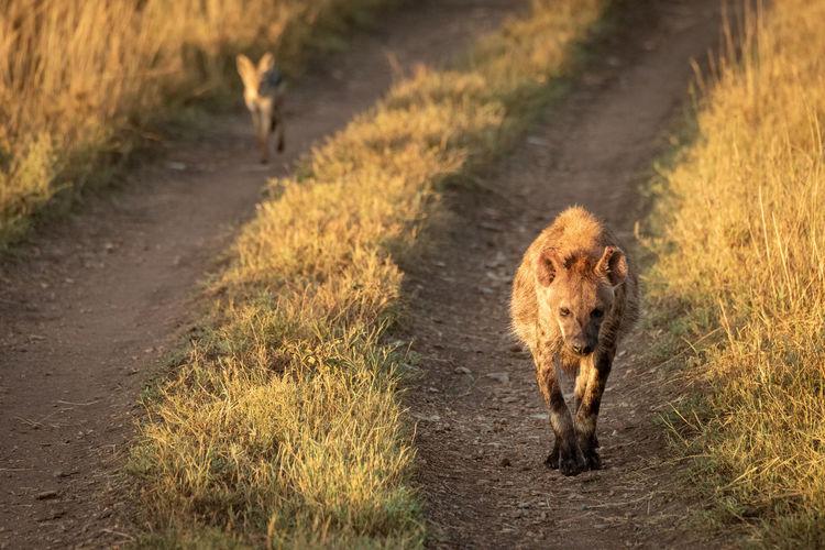 Hyenas walking on dirt road