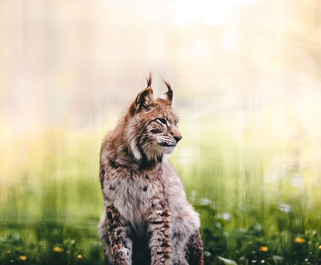 Lynx sitting on field