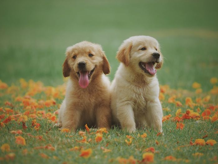 Cute Lovely Puppy Dog Golden Retriever Dog Canine Dog Domestic Pets Animal Themes Animal Domestic Animals Nature Retriever Plant Grass Mammal