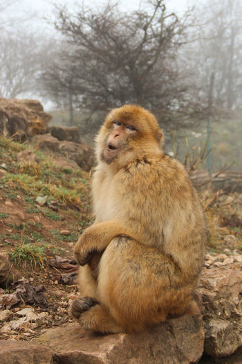 Barbary Ape Barbary Macaque Action Animal Animal Photography Animal Themes Animals In The Wild Animals In The Wild Baboon Barbary Ape Day Fog Foggy Magot Mammal Monkey Monkey Business Nature No People Outdoors Sitting Wildlife Wildlife & Nature Young Animal Zoo Zoo Animals