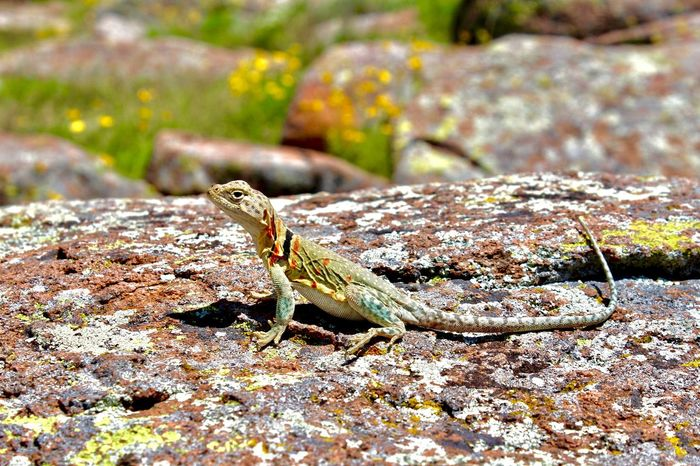 Mountain Boomer Colorful lizard found in the Wichita Wildlife Refuge in Oklahoma Animal Themes Animal Wildlife Animals In The Wild Close-up Colorful Lizard, Day Lizard Nature Lizard, Reptiles Mountain Boomer, Nature No People One Animal Outdoors Reptile Rock - Object