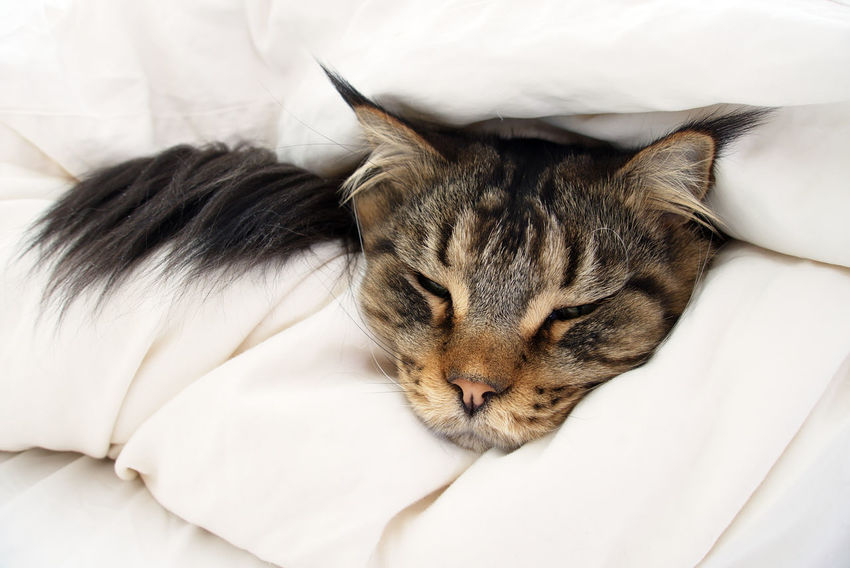 Black Tabby Black Tabby Cat Animal Bed Brown Tabby Cat Close-up Domestic Duvet Ear Tufts Eyes Closed  Feline Hiding Ill Indoors  Linen Lynx Tips Napping No People Pets Relaxation Resting Sick Sleeping Weak