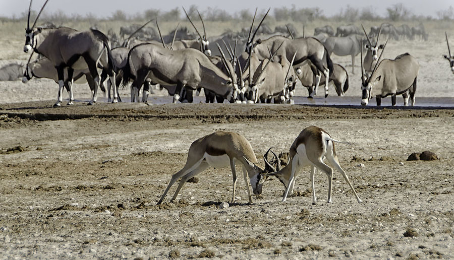Gemsbok fighting on field