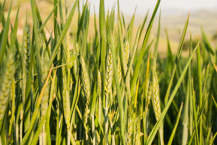 Wheat Field Agriculture Barley Beauty In Nature Blade Of Grass Cereal Plant Close-up Crop  Day Ears Of Wheat Environment Farm Field Grass Green Color Growth Land Landscape Nature No People Outdoors Plant Plantation Rural Scene Wheat