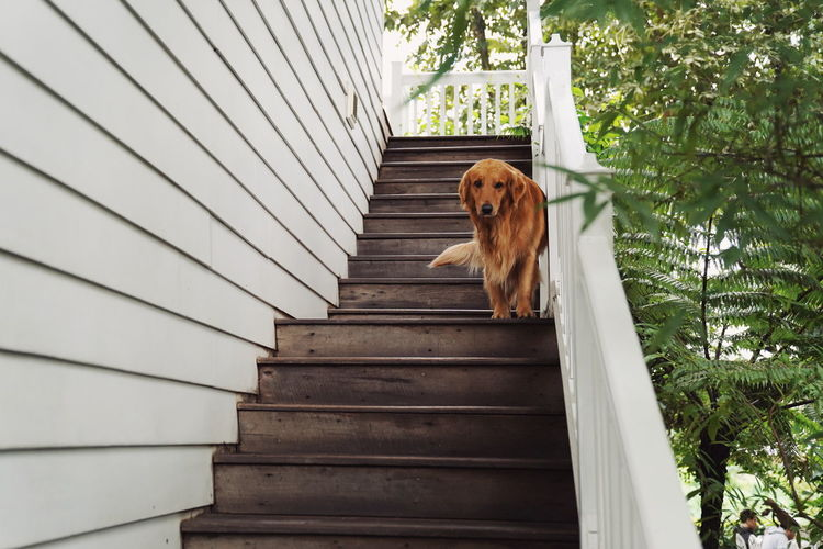 golden retriever on stair EyeEm Best Shots EyeEm Selects EyeEm Nature Lover Pets Dog Steps Brown Animal Themes Architecture Golden Retriever Retriever Animal Tongue Labrador Retriever Pet Collar Animal Mouth Sticking Out Tongue Puppy Protruding Black Labrador Panting Steps And Staircases Spiral Staircase Stairway Staircase Beagle Purebred Dog Canine Spiral Stairs
