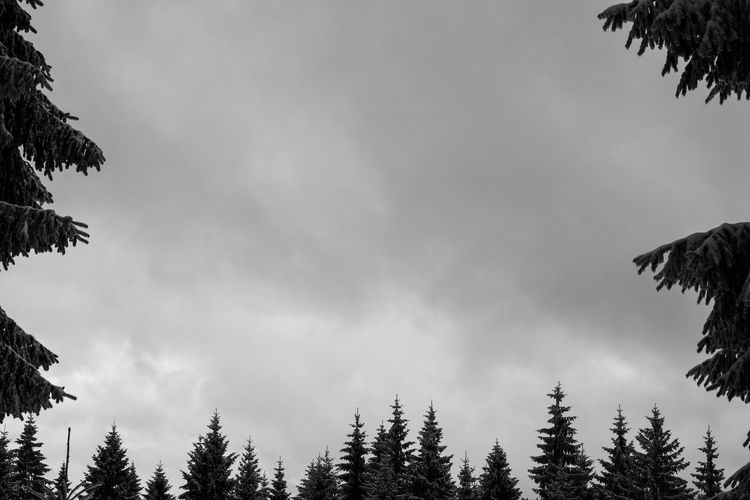 Beauty In Nature Black And White Cloud - Sky Day Forest Low Angle View Nature No People Outdoors Pinaceae Silhouette Sky Tree Treetop