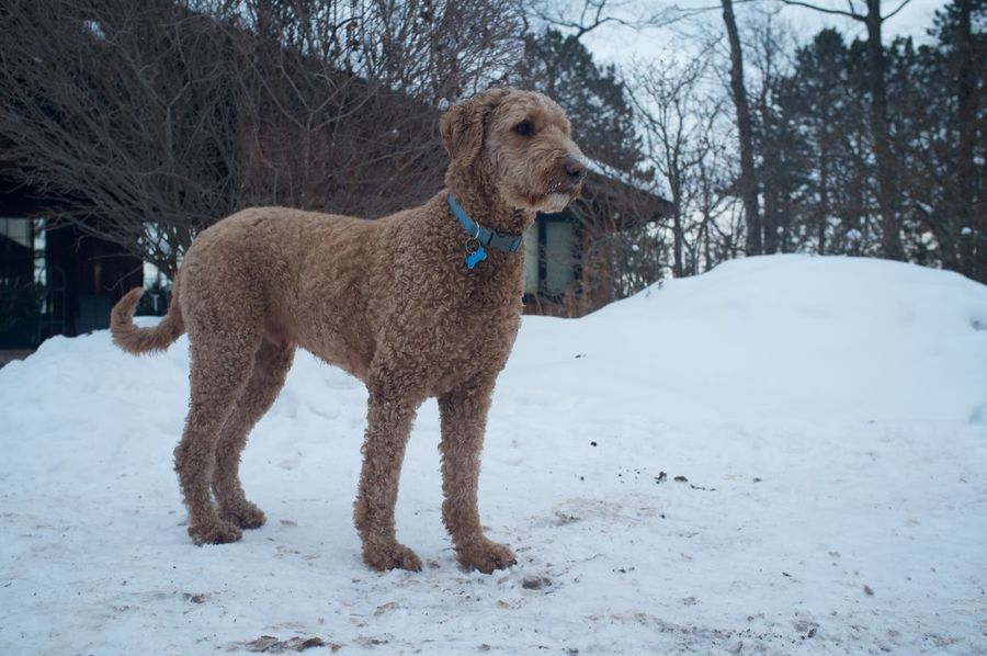 January 23, 2016 Animal Animal Themes Brown Close Up Cold Cold Temperature Day Dog Domestic Animals Duluth Full Length Goldendoodle Mammal Minnesota One Animal Pets Relaxation Running Side View Sitting Two Animals Winter Zoology