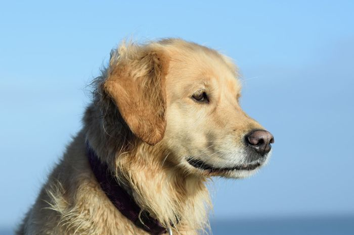 Dog One Animal Pets Animal Themes Looking At Camera Portrait Close-up Domestic Animals Golden Retriever Retriever Haustier Hunde Hund Dogs Of EyeEm Dog Love Dogslife Dogs Nordsee Meer Goldenretriever Sea Golden Retriever